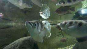 Archer Fish almacen de video
