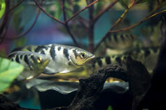 Archer fish, Blowpipe fish Royalty Free Stock Image