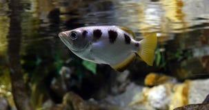 Archer Fish, jaculatrix del toxotes, metrajes