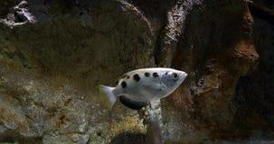 Archer Fish, jaculatrix del toxotes, almacen de video