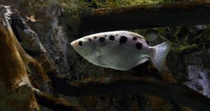 Archer Fish, jaculatrix del toxotes, almacen de metraje de vídeo