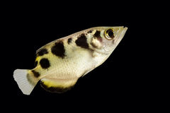 Archer fish (Toxotes jaculatrix) Royalty Free Stock Image