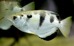 Archerfish 1 imagens de stock royalty free