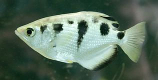 Archerfish 2 Royalty Free Stock Image