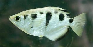 Archerfish 2 Royalty Free Stock Image