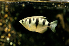 archerfish Royaltyfri Bild