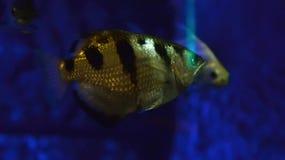 Archerfish Fotos de archivo libres de regalías