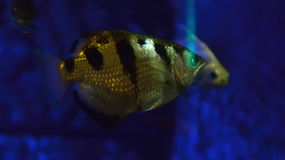 Archerfish. Banded archerfish floating in water Royalty Free Stock Photos