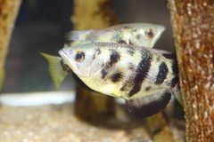 Archerfish eller Archer-fisk Royaltyfria Bilder