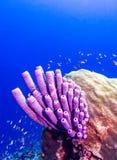 Archeri Aplysina, σφουγγάρι σόμπα-σωλήνων Στοκ Φωτογραφία