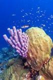 Archeri Aplysina, σφουγγάρι σόμπα-σωλήνων Στοκ Φωτογραφίες
