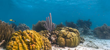 Archeri Aplysina, σφουγγάρι σόμπα-σωλήνων Στοκ Εικόνες