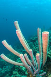 Archeri Aplysina, σφουγγάρι σόμπα-σωλήνων Στοκ φωτογραφία με δικαίωμα ελεύθερης χρήσης
