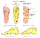 Arches of the foot. Vector diagram Arches of the foot: Medial and Lateral Longitudinal and Transverse Arches stock illustration