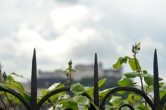 Arches of an iron fence, covered in rose buds, against a stormy sky. royalty free stock image