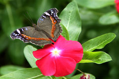 Archesia archesia Commodore Presis κήπων πεταλούδων Στοκ φωτογραφίες με δικαίωμα ελεύθερης χρήσης