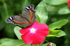 Archesia d'archesia de Presis de commodore de jardin de papillon photos libres de droits