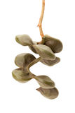 Archidendron Jiringa seeds Stock Photos
