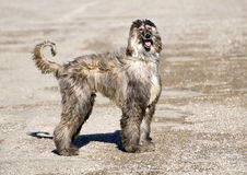 Archie the Afghan Hound. Standing in the sun Stock Images