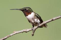 archilochus colubris红喉刺莺蜂鸟的红宝石 免版税图库摄影