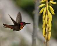archilochus colubris红喉刺莺蜂鸟的红宝石 免版税库存图片