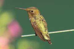 archilochus colubris红喉刺莺蜂鸟的红宝石 库存图片