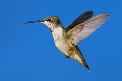 archilochus colubris hummingbird rubin Obraz Stock