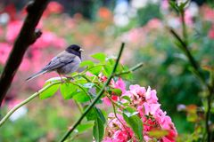 Arching branch holding small chickadee. Black headed chickadee sitting on rose arbor in washington state stock photography