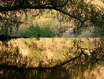 An arching cottonwood branch reflected in golden, mirror-like waters. This photo was shot standing in the middle of Sabino Lake so I could frame a saguaro stock photo