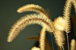 Arching Golden Fountain Grass Glowing in sunlight. Arching Dried Golden Fountain Grass Glowing in sunlight royalty free stock image