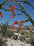 An arching ocotillo tree in bright spring bloom stands out against a blue sky and desert landscape Royalty Free Stock Photo