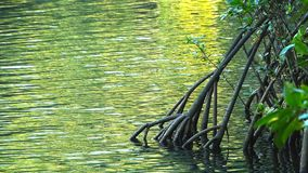 The arching roots of a mangrove tree. In the daintree national park at cape tribulation in queensland n stock video footage