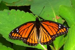 Archippus Ιλλινόις Limenitis πεταλούδων αντιβασιλέων Στοκ Εικόνες