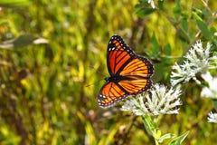 Archippus Limenitis πεταλούδων αντιβασιλέων Στοκ Εικόνες
