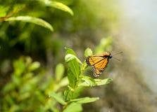Archippus Limenitis πεταλούδων αντιβασιλέων Στοκ Φωτογραφία