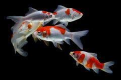 Koi fish fish Gold isolated on black background stock image