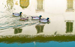 Architectures and canals of Comacchio. Italy, Comacchio, ducks in the Fogli  canal Stock Photography