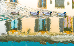 Architectures and canals of Comacchio. Italy, Comacchio, ducks in the Fogli  canal Royalty Free Stock Photo