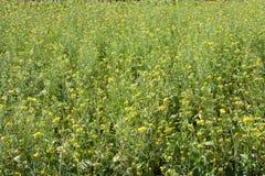 Archivado de la flor Bok Choy del Canola o de la col de China Imagen de archivo libre de regalías