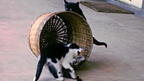 Archival of kittens with pet toy. Common kittens playing with wicker basket. Concept of comfortable house, relaxing and safety state of mind. ARCHIVAL FOOTAGE stock video footage