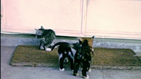 Archival of little cats playing. Little cats playing on the carpet. Archival Footage stock video footage