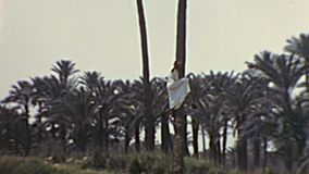 Archivalischer beduinischer Mann, der eine Palme klettert stock video