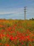 Archivato con molti fiori del papavero in fiori Il giorno molto caldo, piante ha appassire foglie Immagine Stock Libera da Diritti