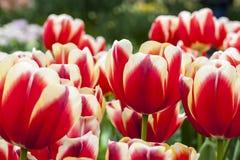 Archivato dei tulipani Fotografia Stock Libera da Diritti