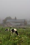 Archivbild der Kuh in Vermont, USA Stockfotos