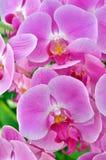 Archivbild einer Orchideenblume in der Nahaufnahme Stockfotografie