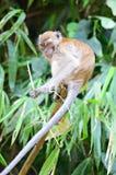 Archivbild eines Affen auf einem Baum Stockfotografie