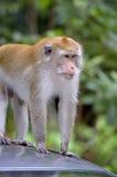 Archivbild eines Affen auf einem Baum Lizenzfreie Stockfotografie