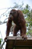 Archivbild eines Orang-Utans an einem Zoo Lizenzfreie Stockfotografie