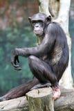 Archivbild eines Orang-Utans an einem Zoo Lizenzfreie Stockfotos